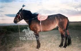 Аймгийн Алдарт уяач Д.Сүрэнхорол: Морь түрүүлж айрагдахад дуслуулж буй тэр нулимс бол эр хүний омогшил, баяр баясал, аз жаргалын нулимс юм