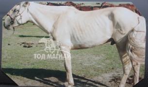2007 онд Мөрөн сумын наадмын их морины аман хүзүү шарга морь