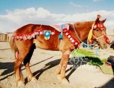 Хүрэн морь аймгийн наадамд 4 аман хүзүүдэж, 2 айрагдсан. АХ-ын наадам, түүхт ой, аймгийн харвын бүсийн уралдаанаас нийт 76 айраг, түрүү авсан